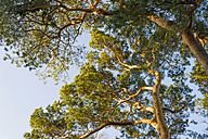 Germany, Mecklenburg-Western Pomerania, Ruegen, treetop of pine, view from below - MJF000904