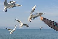 Germany, Mecklenburg-Western Pomerania, Ruegen, man feeding seagulls - MJF000944