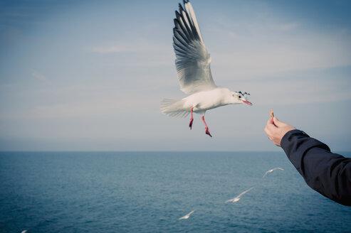Germany, Mecklenburg-Western Pomerania, Ruegen, man feeding seagulls - MJF000945