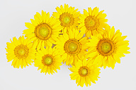 Sunflowers (Helianthus annuus) in front of white background - GWF002631