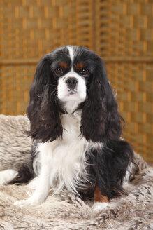 Cavalier King Charles Spaniel, male, tricolour - HTF000395