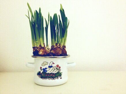 Daffodils (Narcissus) in a pot - RIM000153