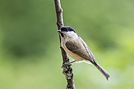 Germany, Hesse, Bad Soden-Allendorf, Marsh tit, Poecile palustris, perching on branch - SR000439