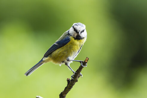 Germany, Hesse, Bad Soden-Allendorf,  Blue tit, Cyanistes caeruleus, perching on branch - SR000427