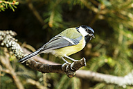 Germany, Hesse, Bad Soden-Allendorf, Great tit perching on branch - SR000423