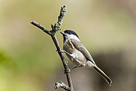 Germany, Hesse, Bad Soden-Allendorf, Marsh tit, Poecile palustris, perching on branch - SR000412