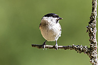 Germany, Hesse, Bad Soden-Allendorf, Marsh tit, Poecile palustris, perching on branch - SR000411