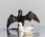 Germany, Timmendorfer Strand, Cormorant and seagull at Baltic Sea - SR000405