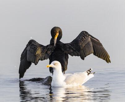 Germany, Timmendorfer Strand, Cormorant and seagull at Baltic Sea - SR000405