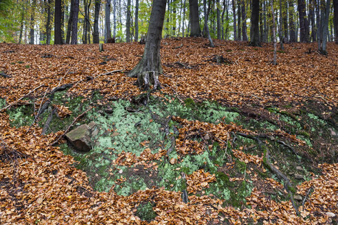 Germany, Fuldabruck, Leaves in forest - SR000450