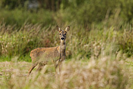 Germany, Niendorf, Roe deer in grass - SR000396