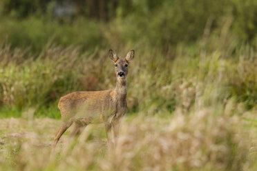 Germany, Niendorf, Roe deer in grass - SR000396