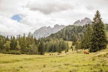 Austria, Lungau, cows in alpine landscape - KVF000039