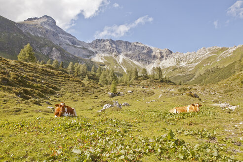 Austria, Lungau, cows in alpine landscape - KVF000055