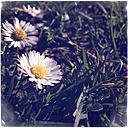 Daisy - LVF000873