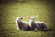 Germany, two lambs lying side by side on pasture - KRPF000380