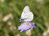 Germany, Bavaria, Upper Bavaria, Black-veined White (Aporia crataegi) on Meadow Widow Flower (Knautia arvensis) - SIEF005185