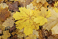 Germany, Bavaria, yellow leaves, Norway Maple (Acer platanoides) in autumn - SIEF005175