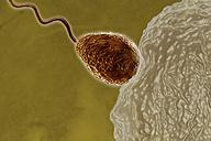 Sperm fertilizing egg cell - SGF000450
