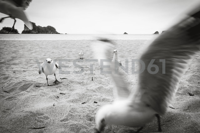 New Zealand, North Island, Cathedral Cove and seagulls on beach - WV000479 - Valentin Weinhäupl/Westend61