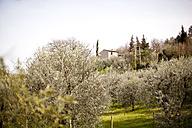 Italy, Tuscany, Volterra, olive grove - KVF000066
