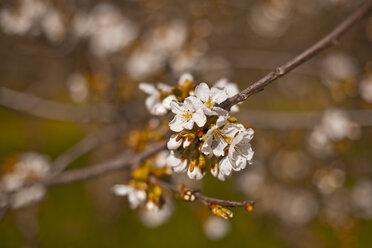 Italy, Tuscany, Volterra, cherry blossom - KVF000071