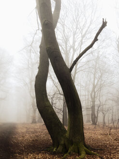 Morning fog in the forest of the Harburg Hills, Hamburg, Germany - MSF003502