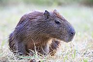 South America, Brasilia, Mato Grosso do Sul, Pantanal, Capybara, Hydrochoerus hydrochaeris - FOF006391