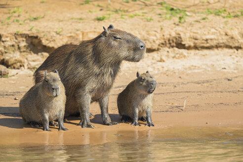 South America, Brasilia, Mato Grosso do Sul, Pantanal, Cuiaba River, Capybaras, Hydrochoerus hydrochaeris, sitting on waterside - FO006396