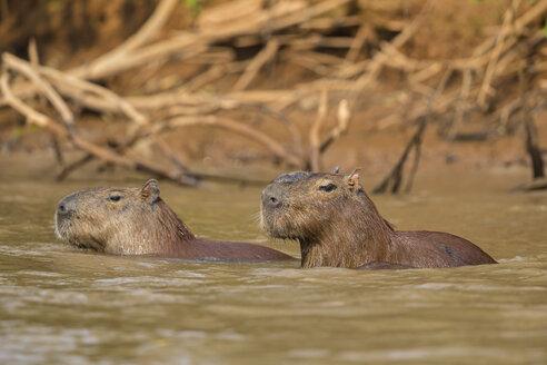 South America, Brasilia, Mato Grosso do Sul, Pantanal, Cuiaba River, Capybaras, Hydrochoerus hydrochaeris, swimming - FOF006398