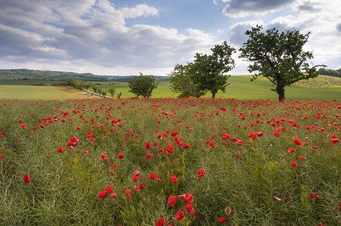 Germany, Saxony-Anhalt, Poppy field - RJF000065