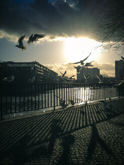 Seagulls (Laridae) at Spree, Berlin, Germany - FBF000307