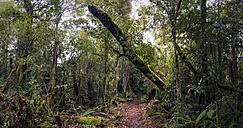 New Zealand, Whakapapa area, Tupapakurua falls track, rain forest - WV000547