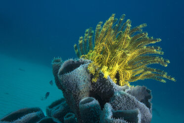 Philippines, Pacific Ocean, Busuanga, Variable bushy feather star on tube sponge - JWAF000022