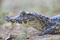 South America, Brasilia, Mato Grosso do Sul, Pantanal, Yacare caiman, Caiman yacare - FOF006423