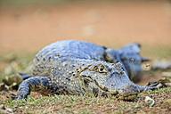 South America, Brasilia, Mato Grosso do Sul, Pantanal, Yacare caiman, Caiman yacare - FOF006426