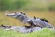 South America, Brasilia, Mato Grosso do Sul, Pantanal, Yacare caimans, Caiman yacare - FOF006437