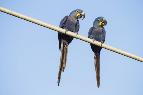 Brazil, Mato Grosso, Mato Grosso do Sul, Pantanal, hyazinth macaws ,Anodorhynchus hyacinthinus, sitting on branch - FOF006413