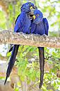 Brazil, Mato Grosso, Mato Grosso do Sul, Pantanal, hyazinth macaws ,Anodorhynchus hyacinthinus, sitting on branch - FOF006416