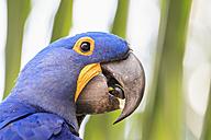Brazil, Mato Grosso, Mato Grosso do Sul, Pantanal, hyazinth macaw, Anodorhynchus hyacinthinus - FOF006417