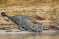 South America, Brasilia, Mato Grosso do Sul, Pantanal, Cuiaba River, Jaguar, Panthera onca, drinking - FOF006382