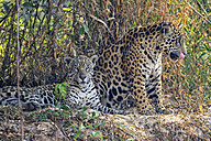 South America, Brasilia, Pantanal, Jaguars, Panthera onca, female and male - FOF006383