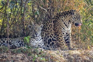 South America, Brasilia, Pantanal, Jaguars, Panthera onca, female and male - FOF006383