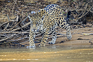 South America, Brasilia, Mato Grosso do Sul, Pantanal, Cuiaba River, Jaguar, Panthera onca - FOF006384