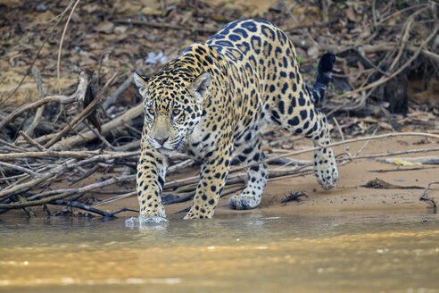 South America, Brasilia, Mato Grosso do Sul, Pantanal, Cuiaba River, Jaguar, Panthera onca - FOF006384