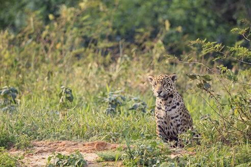 South America, Brasilia, Mato Grosso do Sul, Pantanal, Jaguar, Panthera onca - FOF006358