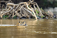 South America, Brasilia, Mato Grosso do Sul, Pantanal, Cuiaba River, Jaguar, Panthera onca, swimming - FO006361