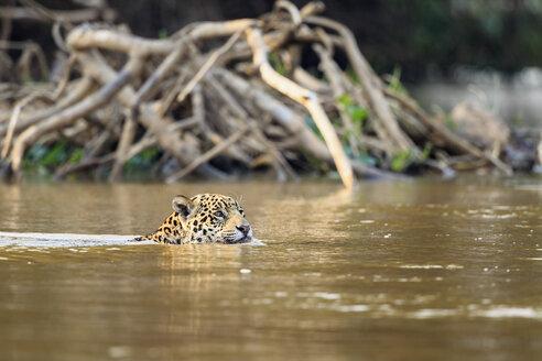 South America, Brasilia, Mato Grosso do Sul, Pantanal, Cuiaba River, Jaguar, Panthera onca, swimming - FO006361