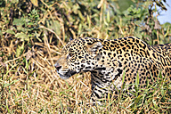 South America, Brasilia, Mato Grosso do Sul, Pantanal, Jaguar, Panthera onca - FO006365