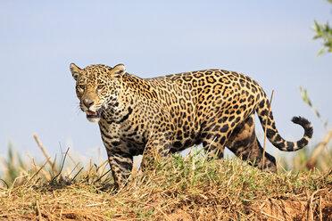 South America, Brasilia, Mato Grosso do Sul, Pantanal, Jaguar, Panthera onca - FO006370